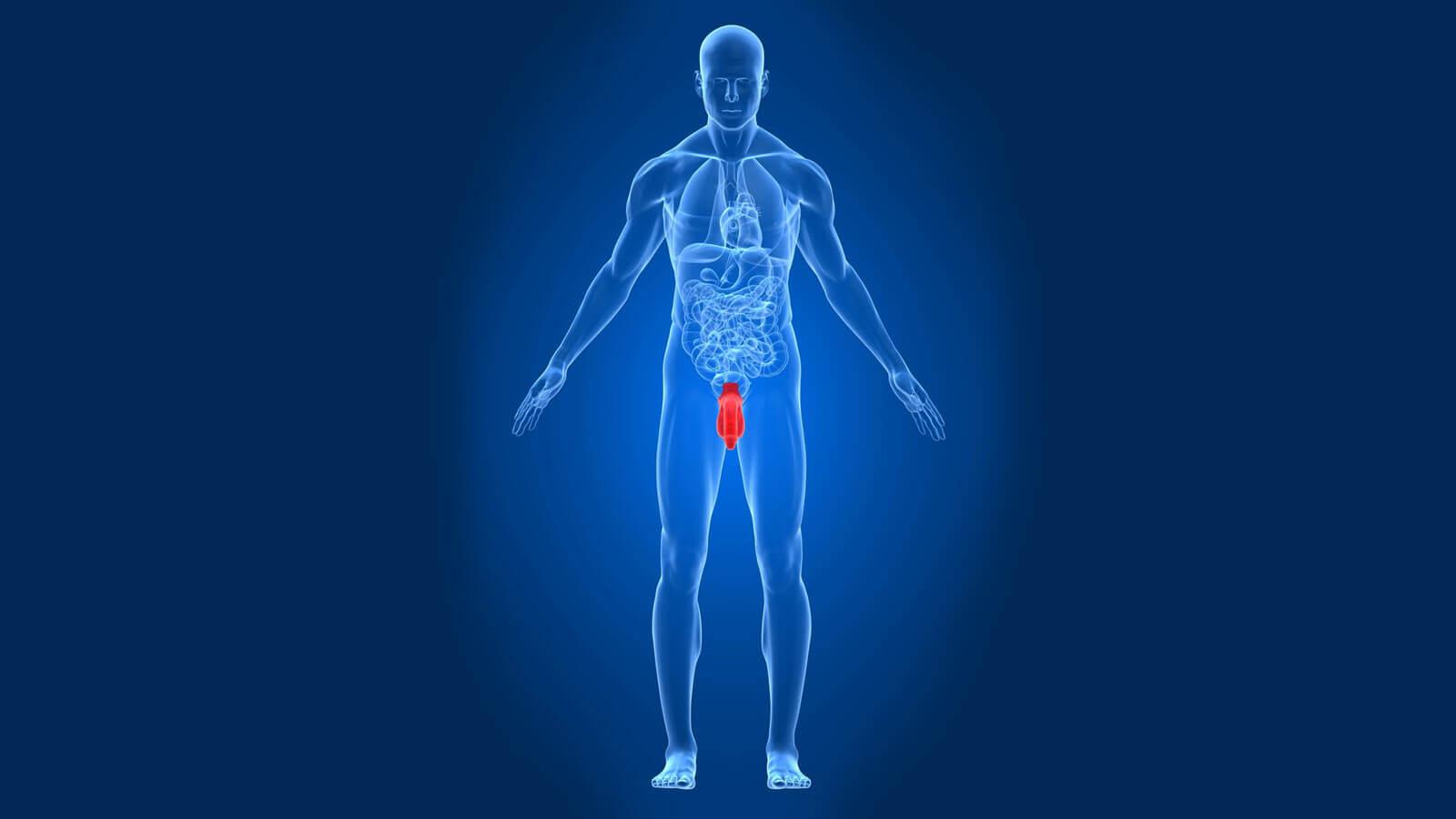 Anatomie geschlechtsverkehr Category:Penile
