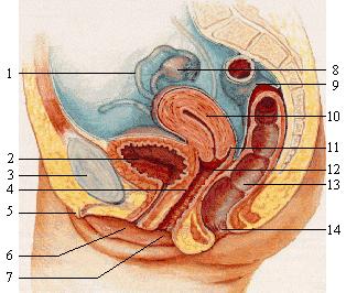 Sex, Anatomie und Weiblichkeit-Details