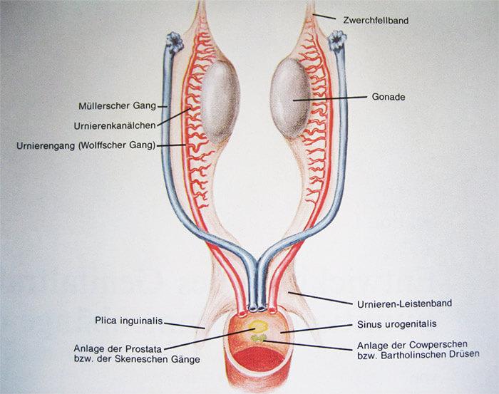 Weibliche Prostata: Mythos oder Realität?